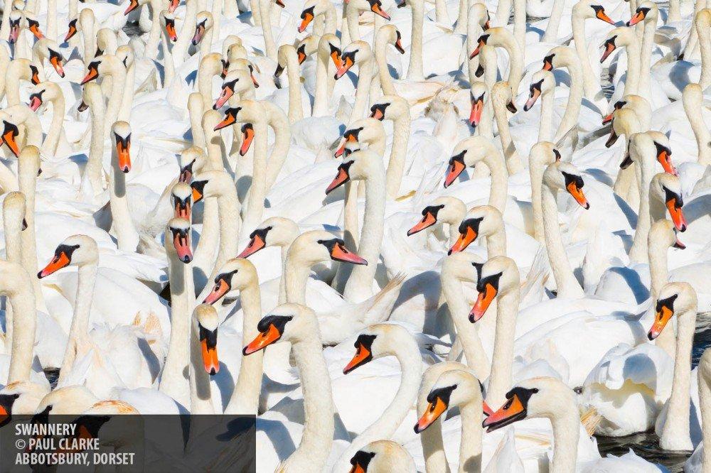 Swans copyright Paul Clarke